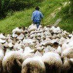 shepherd+leading+sheep